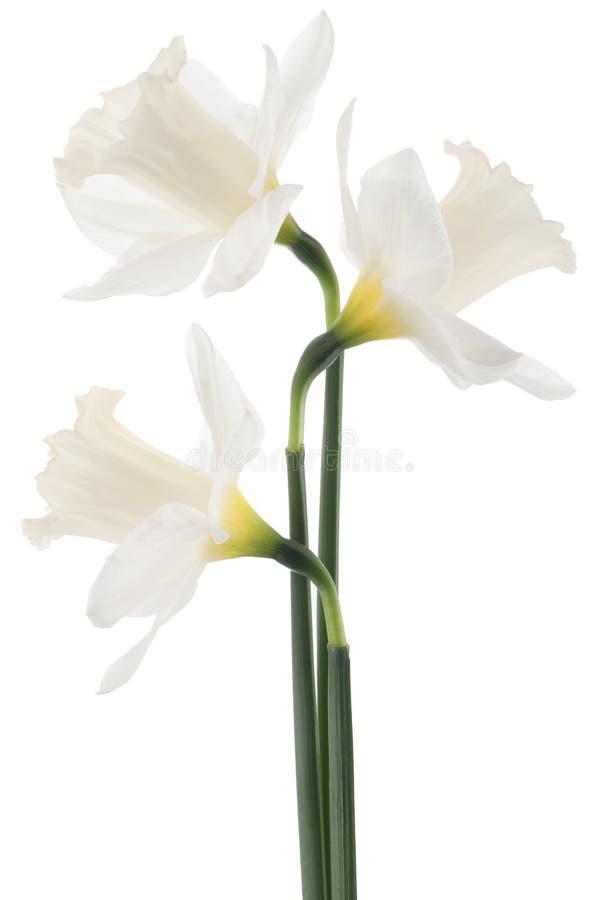 Daffodil obraz stock