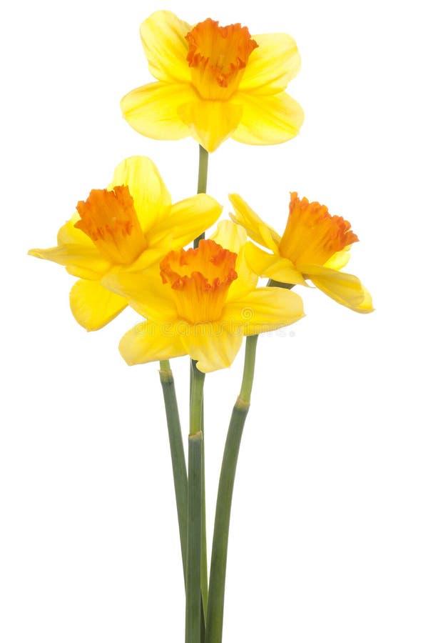 Daffodil стоковые изображения rf