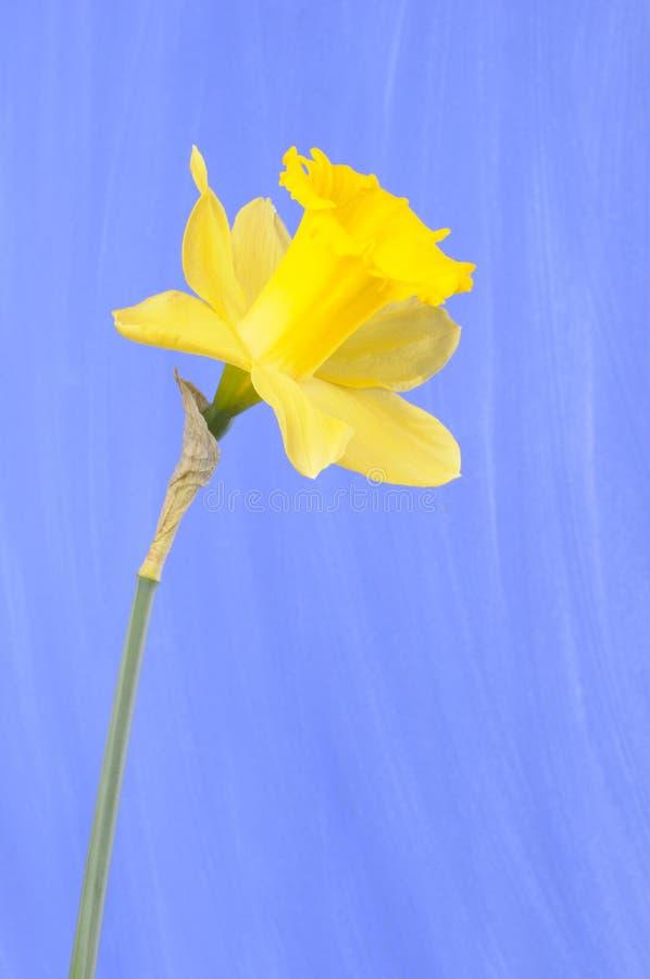 daffodil στοκ εικόνα με δικαίωμα ελεύθερης χρήσης