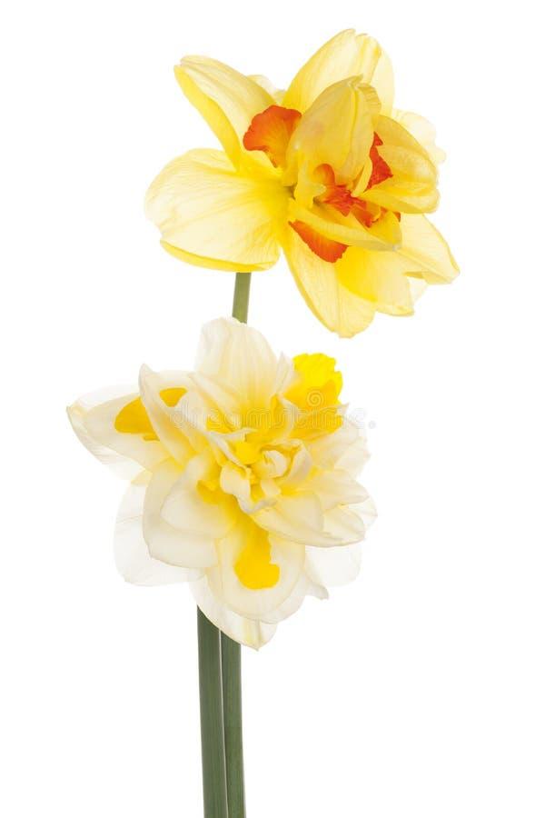 Daffodil стоковое фото rf