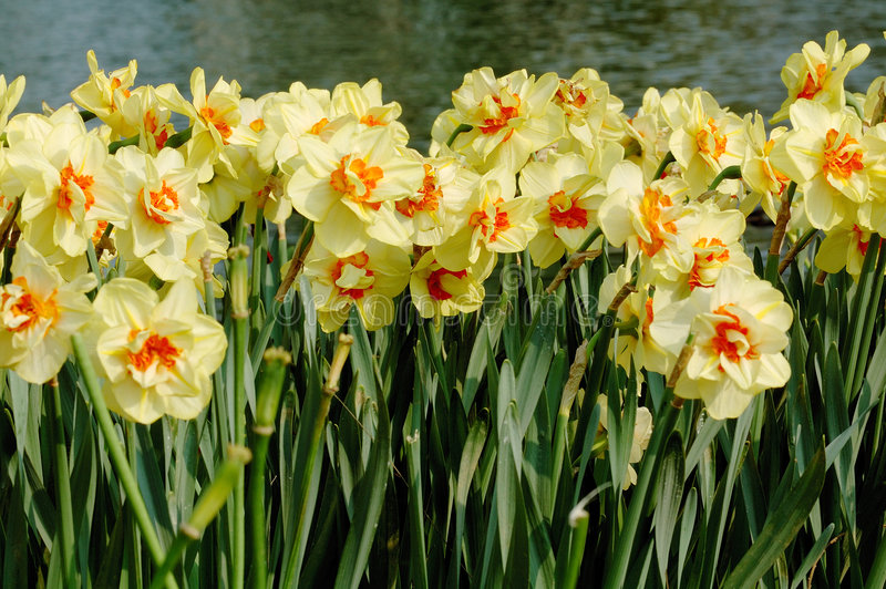 Download Daffodil stock photo. Image of daffodil, fields, detail - 4734548