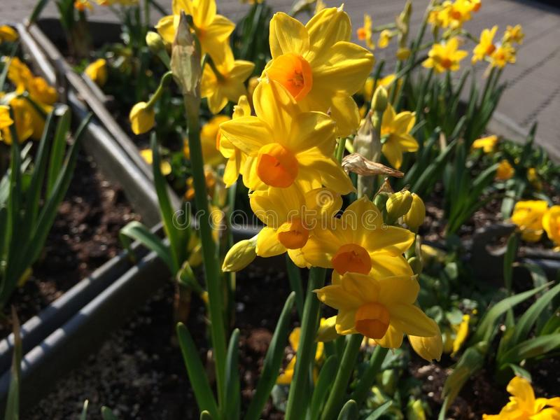 Daffodil immagini stock libere da diritti