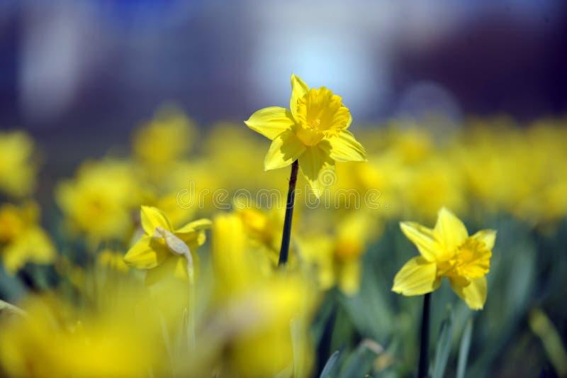 Daffodil στοκ φωτογραφία