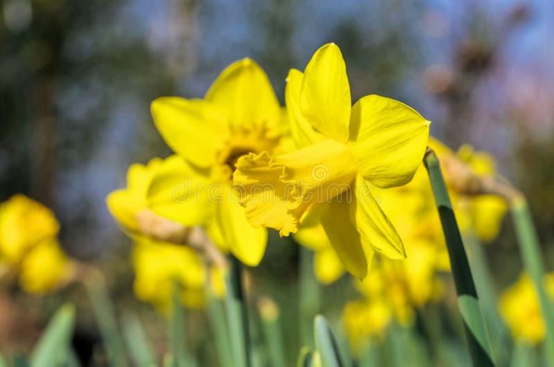 Daffodil стоковые фотографии rf