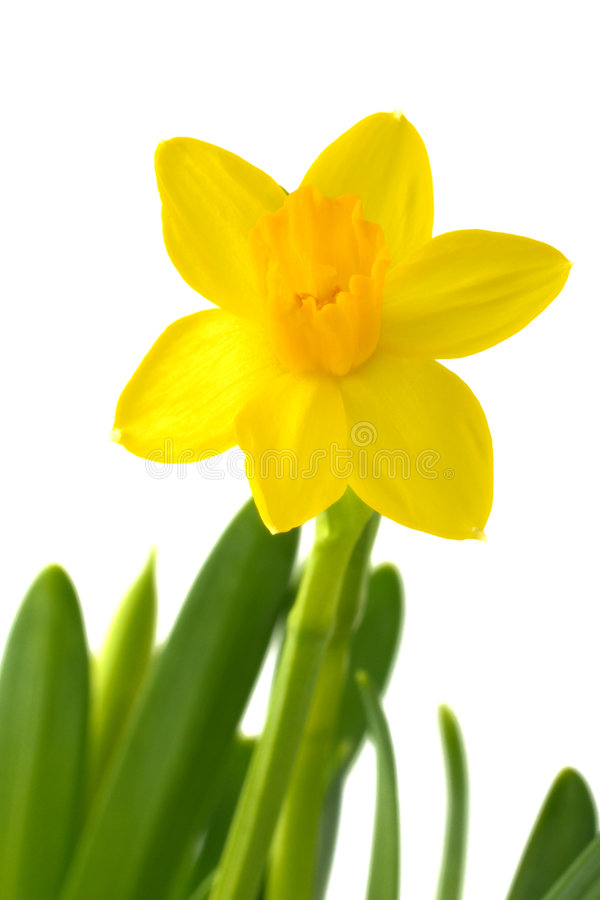 Daffodil. Fresh daffodil on a white background royalty free stock photo