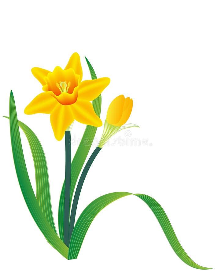 Daffodil royalty illustrazione gratis