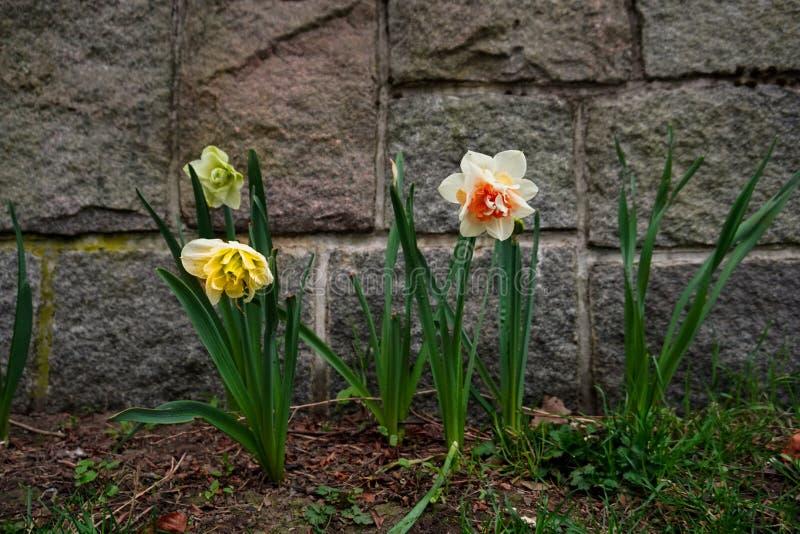 Daffodil immagine stock libera da diritti