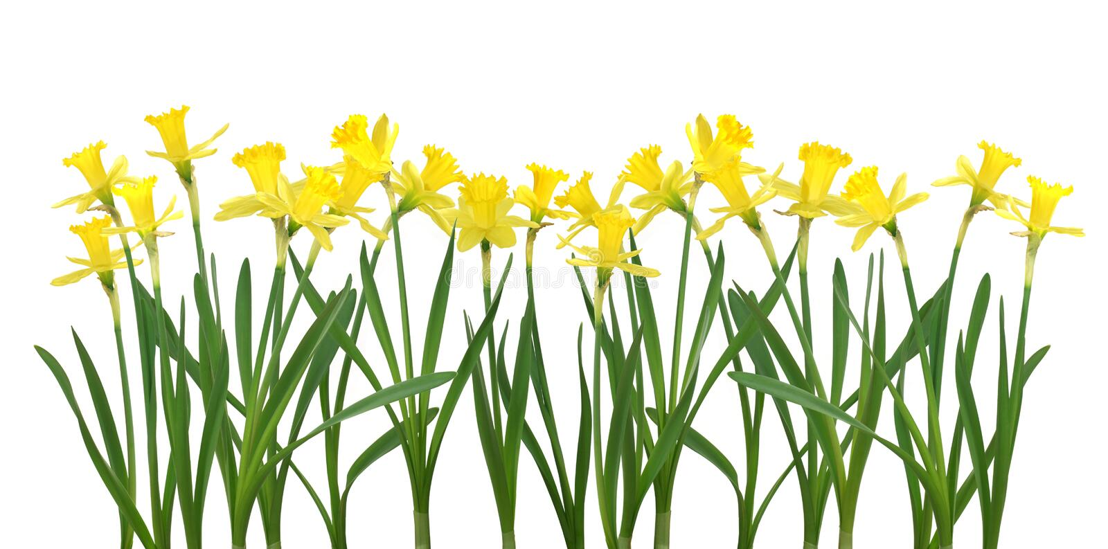 Daffodil banner royalty free stock photography