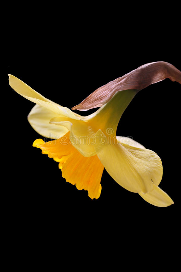 Download Daffodil stock photo. Image of botanical, flower, bulb - 30631542