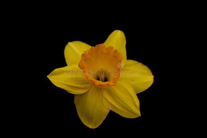 Daffodil On Black Background With Modified Tone Curve stock photos