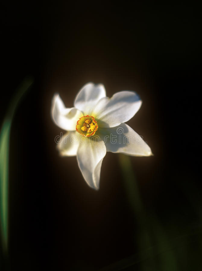 Daffodil on black background. stock photography