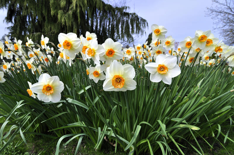 Daffodil blossoms in a park. Vancouver british columbia stock photo