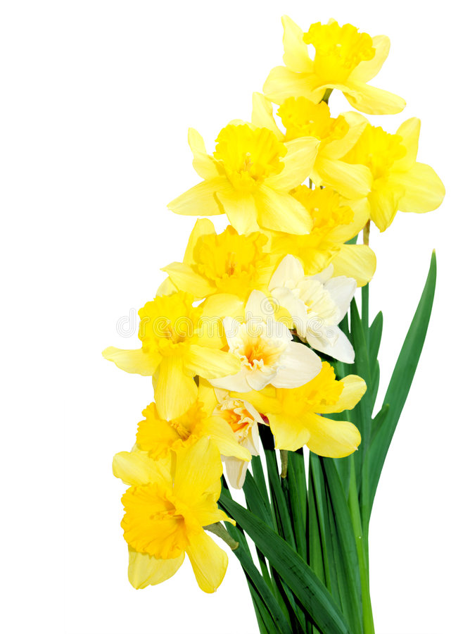 Daffodil Bouquet stock image
