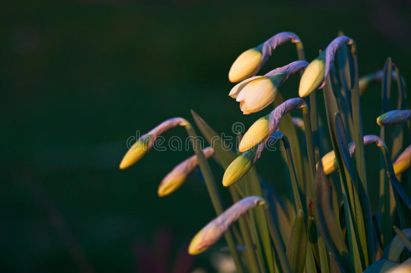 Download Daffodil Buds Beginning To Blossom Stock Photo - Image: 14341828