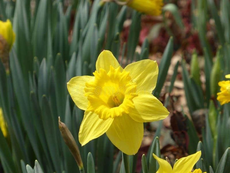 Daffodil Central Park стоковая фотография rf