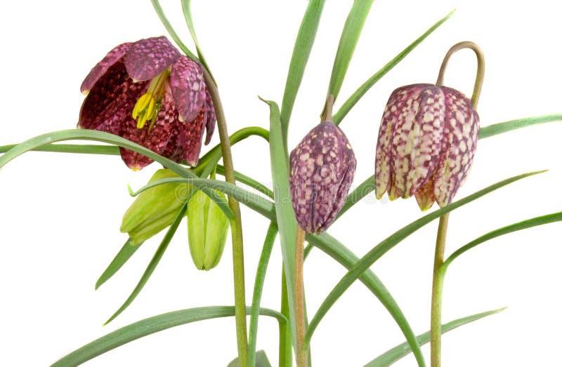 Daffodil Checkered fotografia de stock royalty free