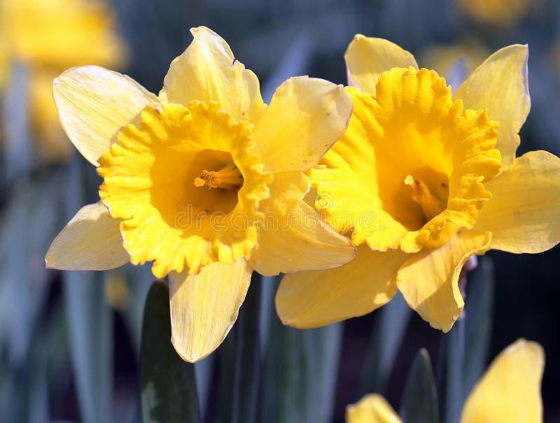 Daffodil Close-up. Macro shot of yellow daffodils royalty free stock images