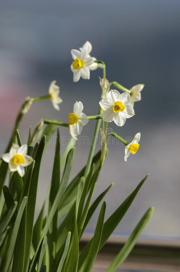 Daffodil. Cluster of tiny white and yellow daffodil blooms. Daffodils are perennial bulb or rhizome flowers within the family of Narcissus plants royalty free stock photo