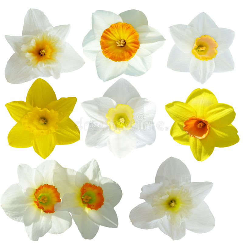 Download Daffodil collection stock photo. Image of white, green - 9181764