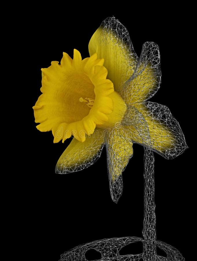 Daffodil 3D Model showing wireframe. Daffodil flower 3D Model showing object wireframe. Technology evolution art. artificial intelligence and robotics stock image
