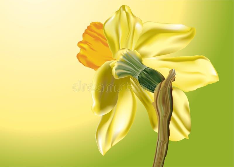 Daffodil da mola ilustração do vetor