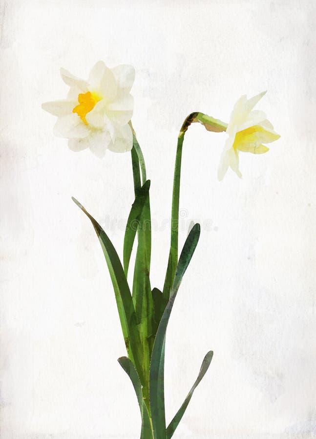 Daffodil de Watercolored ilustração do vetor