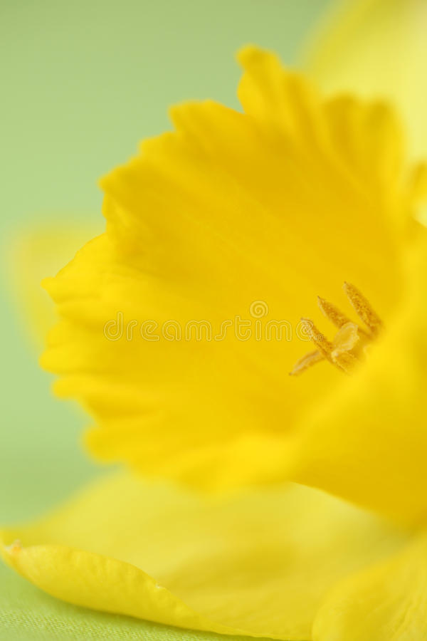 Download Daffodil detail stock photo. Image of spring, closeup - 13182636