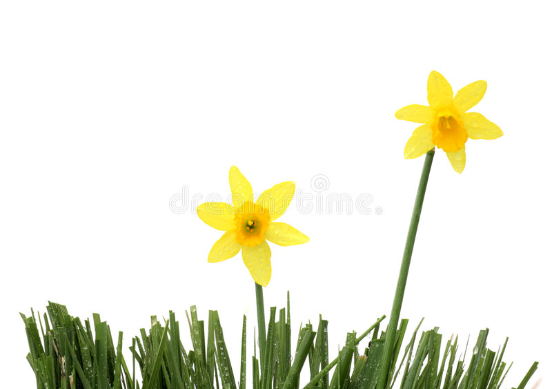 Download Daffodil-duo stock image. Image of copy, beauty, closeup - 4655997