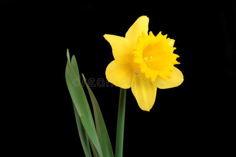 The Daffodil, Emblem of Wales royalty free stock image