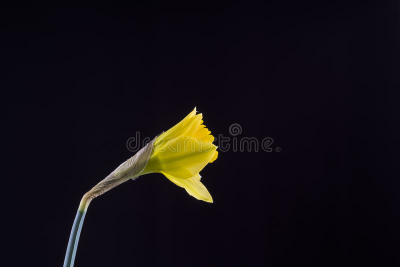 Daffodil emerging from bud against a black background stock photo