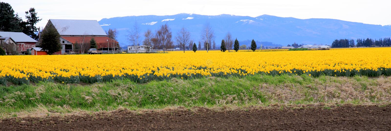 Daffodil Farm. Bright yellow field of daffodils surrounded by green acres in rural Skagit Valley royalty free stock photo