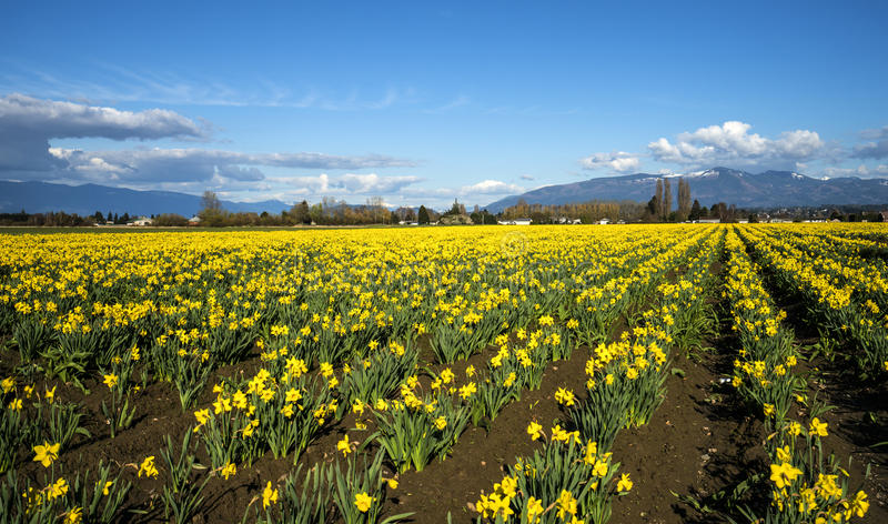 Daffodil Field in Skagit Valley. Mt Vernon, WA USA - April 3d, 2017. Skagit Valley is popular for its flower fields in spring stock photography