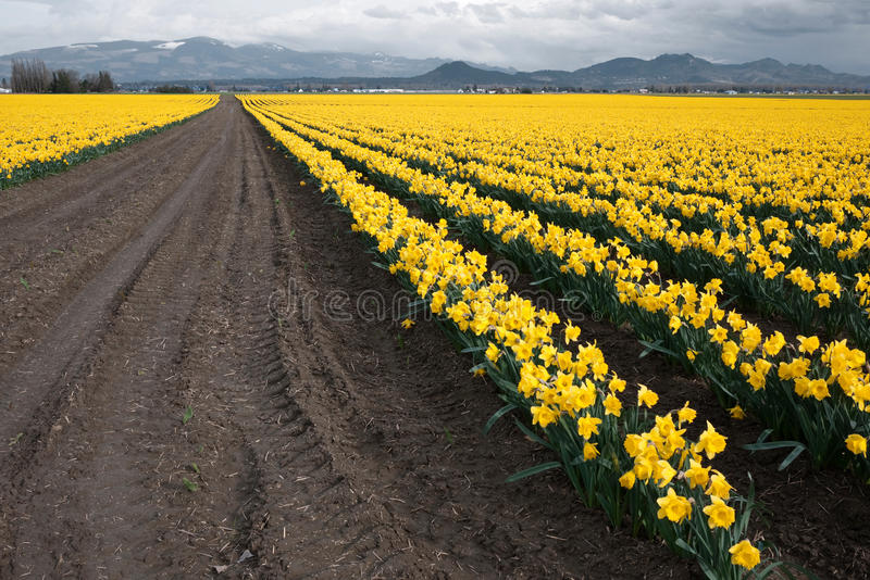 Daffodil Field. In Skagit Valley, WA royalty free stock photos