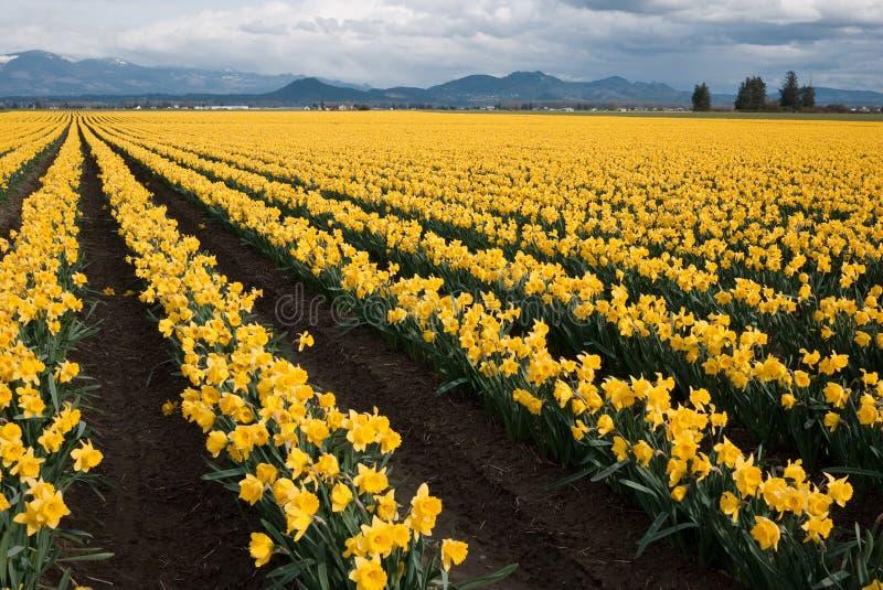 Daffodil Field. In Skagit Valley, WA stock photography