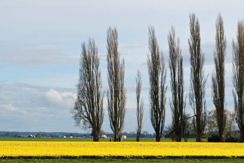 Daffodil Field. In Skagit Valley, WA royalty free stock photo