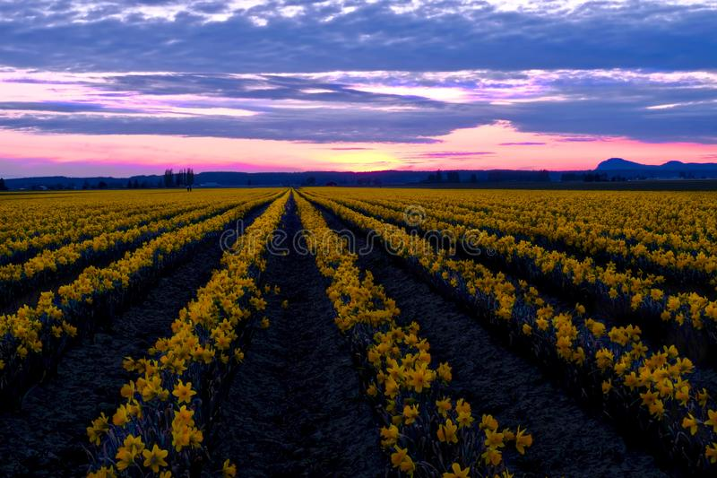 Daffodil fields in bloom at sunset near Seattle. Skagit Valley Tulip Festival. Mount Vernon. WA. USA stock images