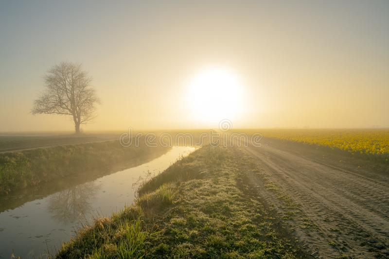 Dirt roads and daffodil fields. Daffodil fields , dirt roads and lone trees on a foggy morning royalty free stock image