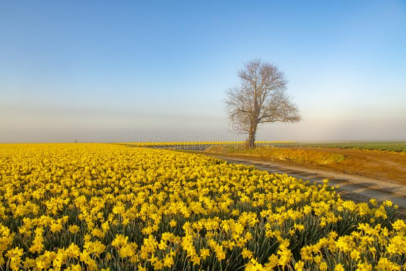 Dirt roads and daffodil fields. Daffodil fields , dirt roads and lone trees on a foggy morning stock photography