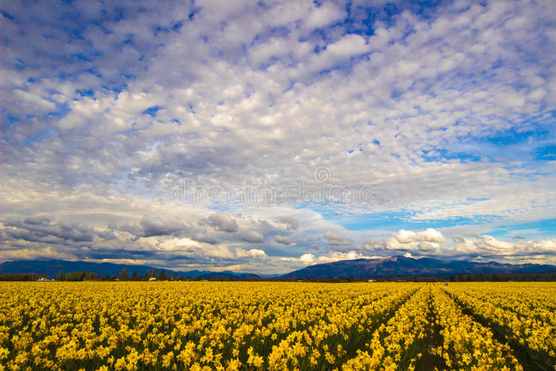 Daffodil Fields. Gorgeous rows of daffodils at the Skagit Valley Tulip Festival in Washington stock image