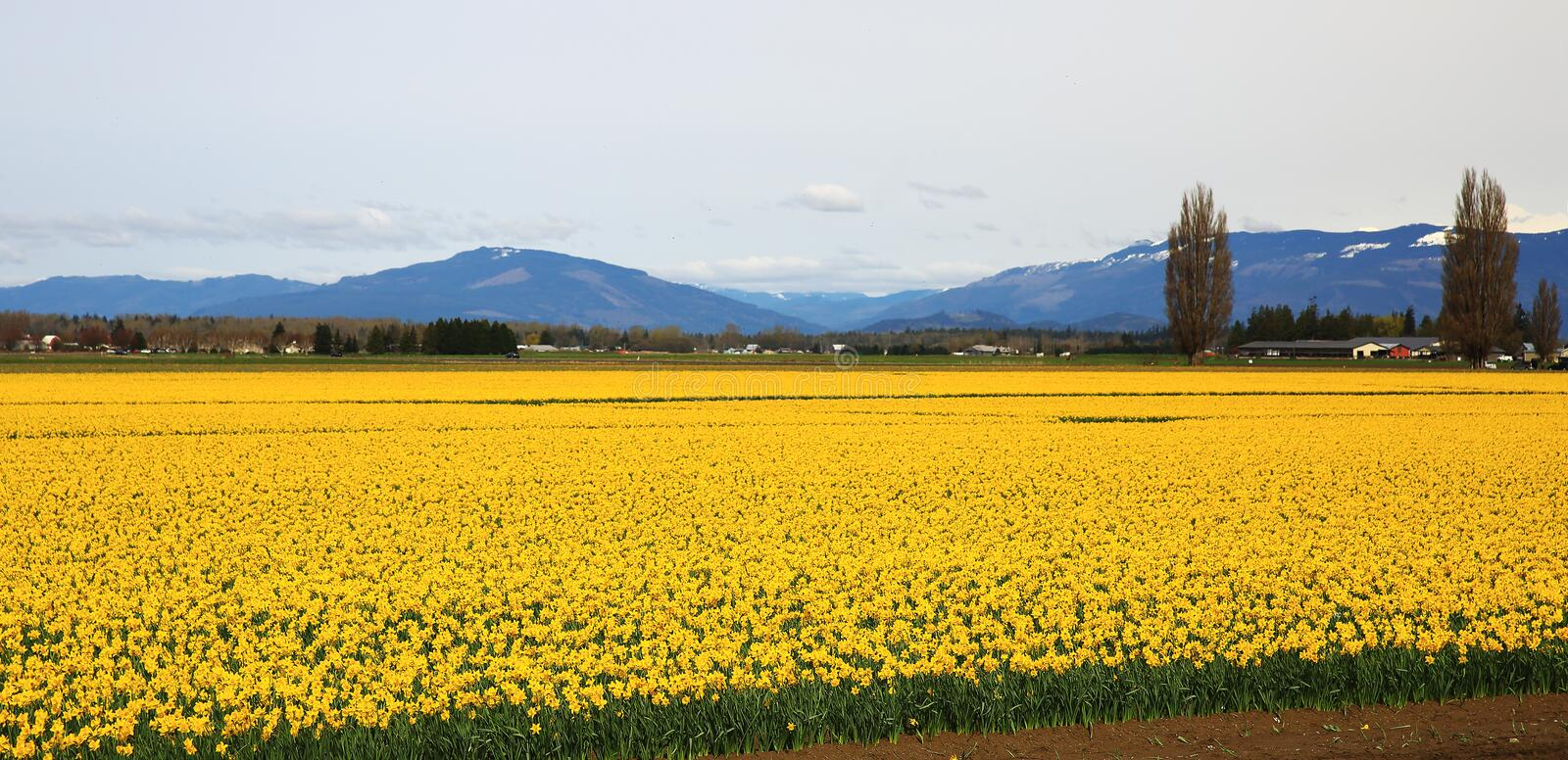 Daffodil Fields in Skagit Valley. Sea of yellow daffodils illuminate field in Mount Vernon, Washington royalty free stock images
