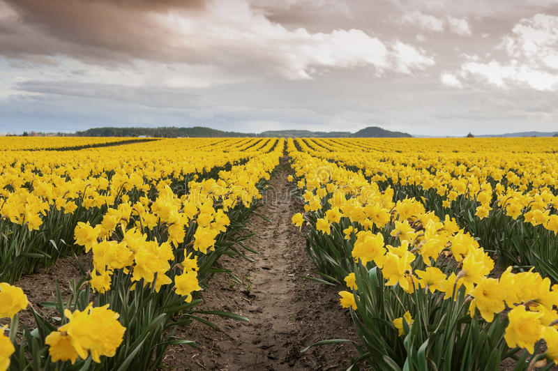 Daffodil Fields. The Skagit Valley, in Washington state, is known for it's tulip festival but before the colorful tulips erupt the daffodils make an appearance stock photography