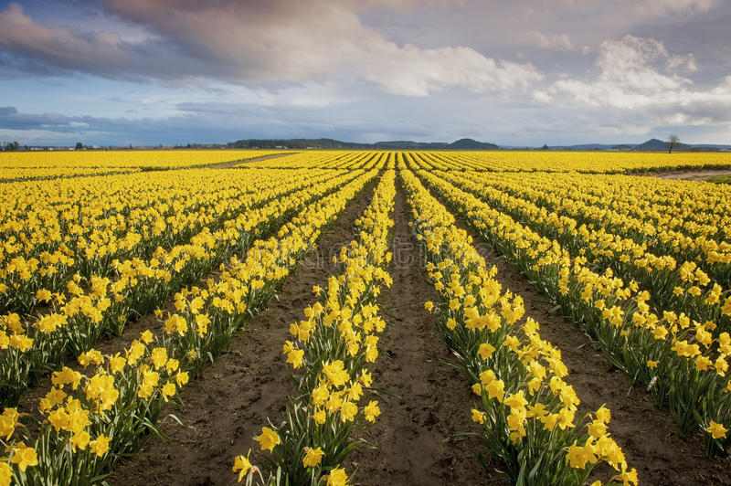 Daffodil Fields. The Skagit Valley, in Washington state, is known for it's tulip festival but before the colorful tulips erupt the daffodils make an appearance royalty free stock photography