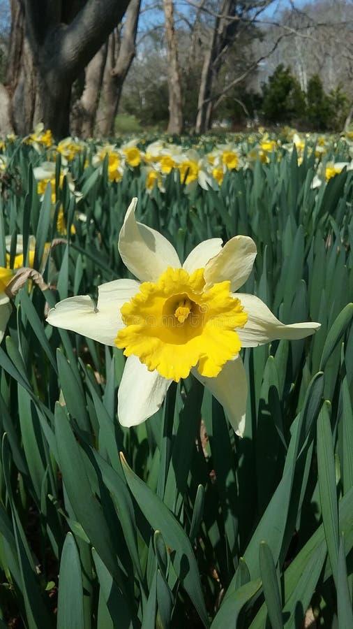 Daffodil Fields royalty free stock photo