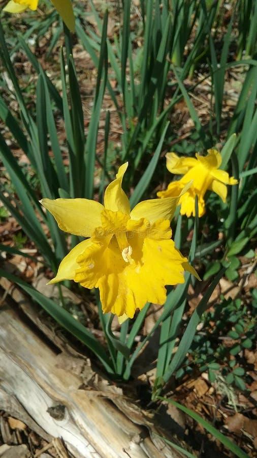 Daffodil Fields stock photo