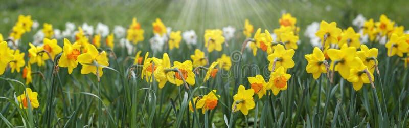 Daffodil florido fotos de archivo libres de regalías