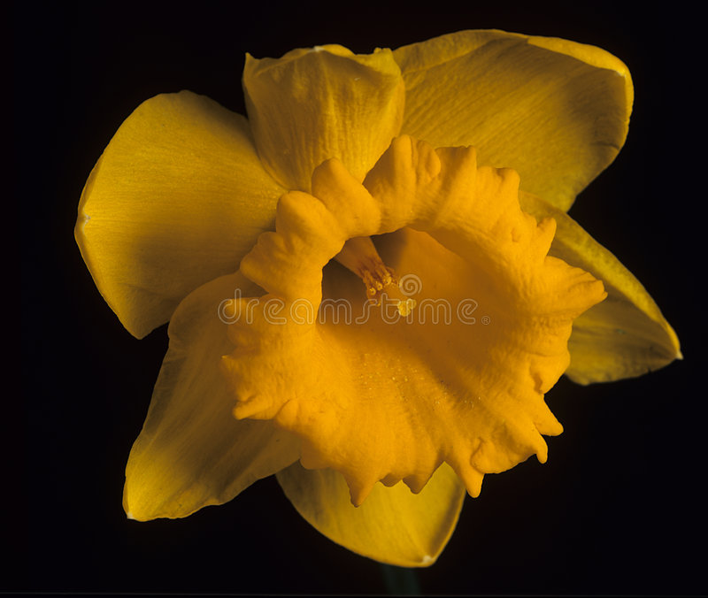 Daffodil Flower. Stock Photo