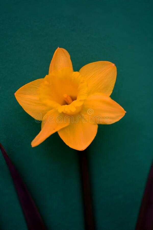 Daffodil flower on green background royalty free stock photos