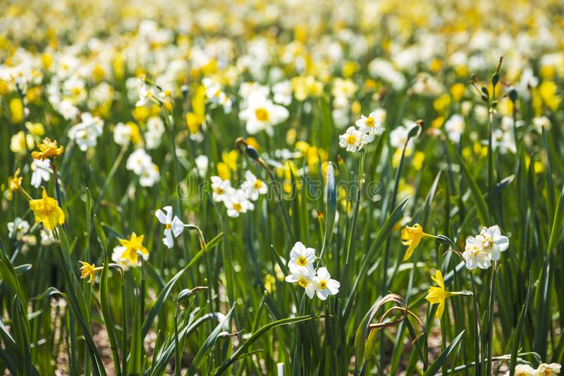 Daffodil flower or Lent lily, Narcissus pseudonarcissus, blooming in Dutch flower fields Drethe, the Netherlands. royalty free stock images