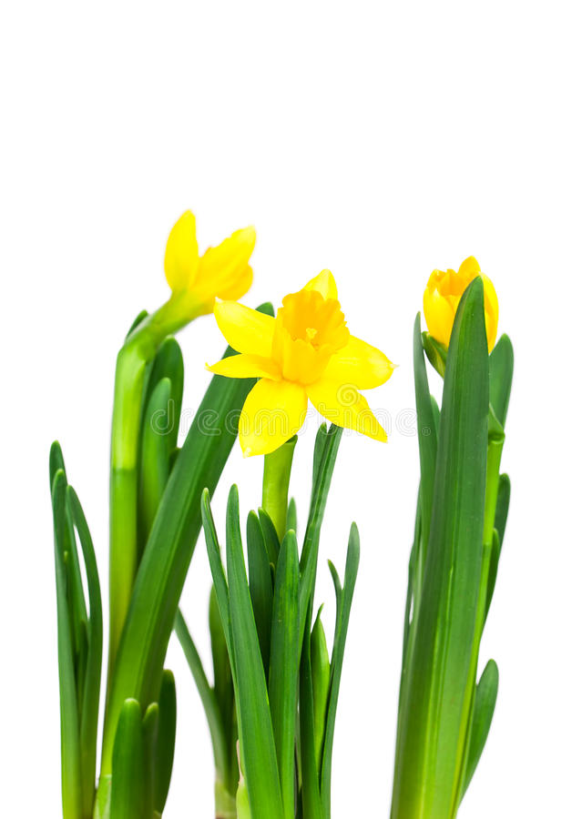 Daffodil flower or narcissus bouquet royalty free stock photos