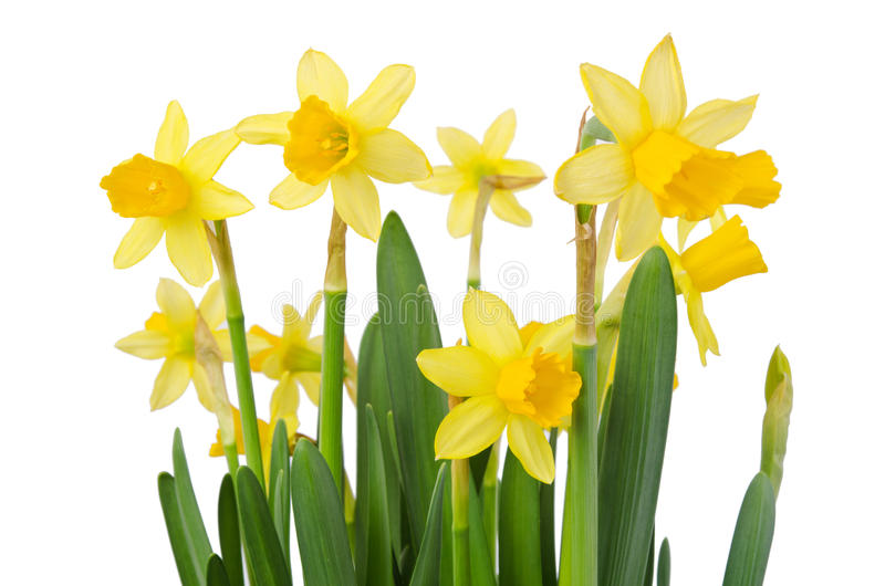 Daffodil flower or narcissus bouquet stock images